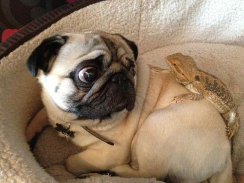 pugfeed:  Sidney still isn't sure about his scaly brother!