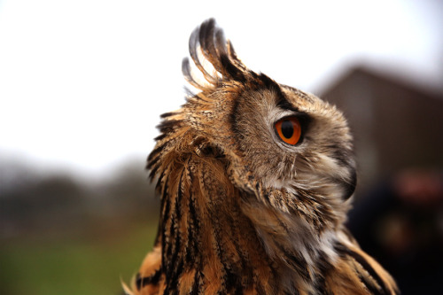 animals-animals-animals:  Eagle Owl (by Adnan-Adnan)