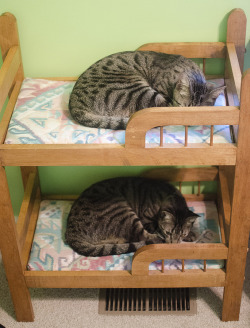 "thefluffingtonpost:  Cat Roomies Save Space With Bunk Beds It may seem a little juvenile, but bunk beds are all the rage for young professionals with a high cost of living. Chester and Conrad share a one-bedroom apartment on New York City's Lower East Side, but they maximize their space with stackable mattresses. ""There's no way they could afford a two-bedroom on cat salaries,"" says Shelly Tegan, a resident in the same building. ""Not in this neighborhood anyway."" Via Solid_Wife."
