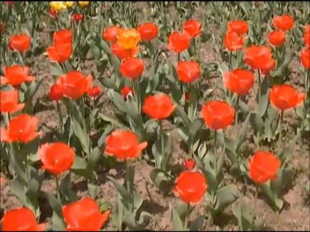 video frame from home movies/notes.   — tulips —