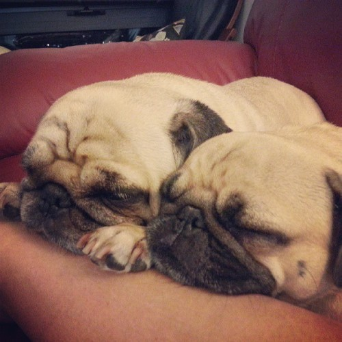 bahhumpug:  Cheek to cheek. Sweet dreams lil pugs.