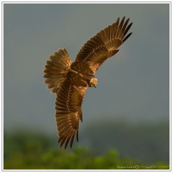 Eastern Marsh Harrier白頭鷂(澤鷂) by stfbfc on Flickr.