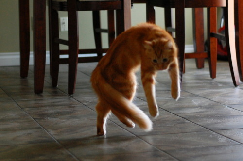 lendoro:  meganphntmgrl:  pabuthefirecat:  Pabu, the Acrobatic Cat Pabu: Jump! Jump! Double-jump!  you can dance if you want to you can leave your friends behind  cati'm a kitty catand i dance dance dance and i dance dance dance