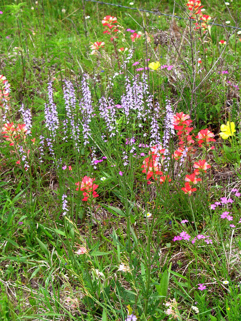 Refugio Co. Wildflowers by dog.happy.art on Flickr.