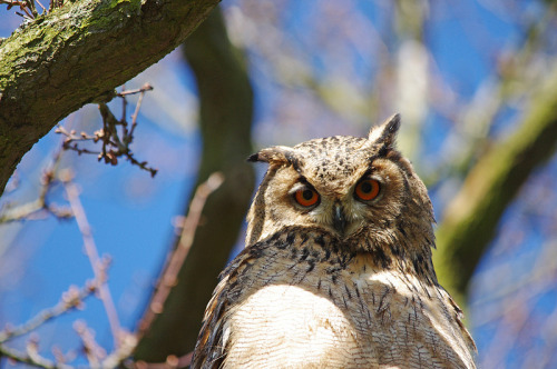 wingedpredators:  Phineas, Turkmenian Eagle Owl (Photo by Hugobian)