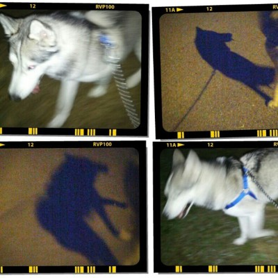Nightly stroll with #kiba my own personal #direwolf. #husky #siberianhusky #puppy #dog #shadow  (at wilderness)