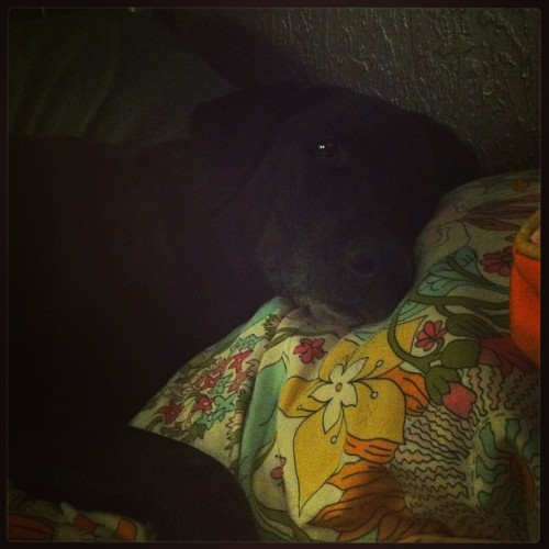 Maddie likes to sneak onto my bed but its ok she's cute 🐶💜 #maddie #dogsofinstagram #toocute