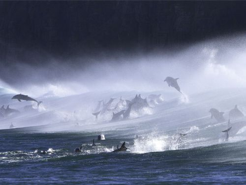 magicalnaturetour:  Bottlenose Dolphins in Surf by Andrew Wong  holy shit this is so epic.