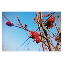 #cold #winter #red #berry #blue #sky #amazing #view #mothernature #instamood #instagood #iphonesia #moscow #russia