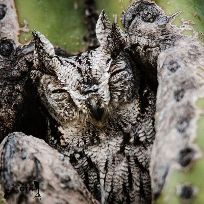 michaelkloth-yay-our-screech-owl-is-back