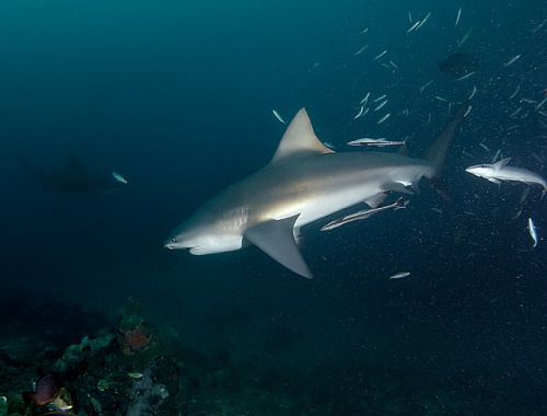 the-shark-blog:  RDP_02a_Fiji Shark Dive_A_083_web by blunomad