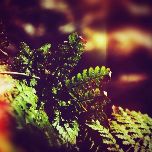 #pretty #ferns #in the #park #philly #philadelphia #nature #light #leaks #closeup #leaves #plants #green (at Fairmount Park)