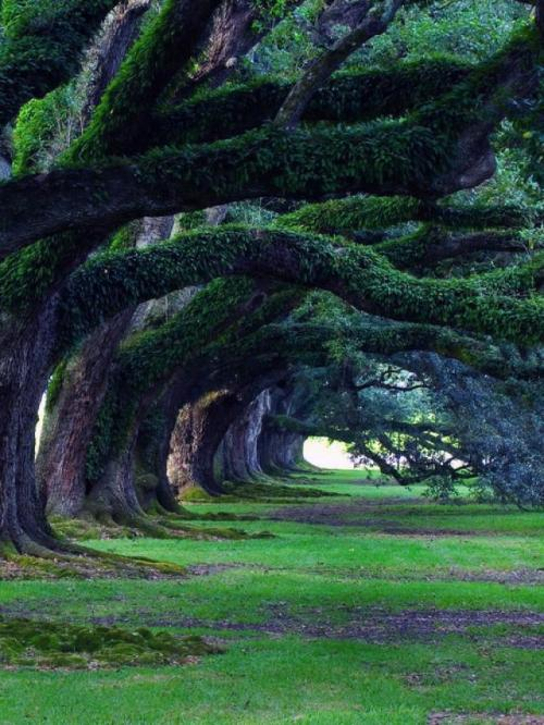 tassels:  300 Years old Oak Trees, Oak Alley Plantation, Louisiana