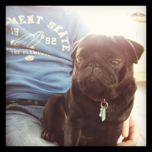 Winston is chilled out now that we're home. :) #pugstagram #pug #dogstagram #dog #dogoftheday #pet #Petstagram #cute