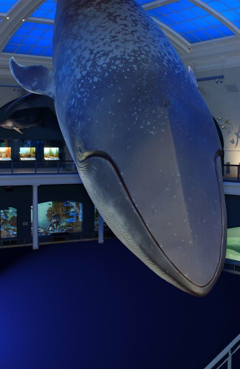 In 2001, the Museum's famous blue whale model did not look as it does today. First constructed in the mid-1960s, the model was based on photographs of a female blue whale that had been found dead in 1925. At the time, little was known about what blue whales looked like in the wild. By the time the Hall of Ocean Life closed for renovation in 2002, Museum artists had many photographs and footage of live whales on which to base their work. They flattened the model's once-overly bulging eyes, accurately redesigned the whale's blowholes, and tapered the tail. Using about 25 gallons of cobalt and cerulean blue paint, the team also recolored and respotted the grayish blue whale.  When the Irma and Paul Milstein Hall of Ocean Life reopened in 2003, the newly renovated gallery was transformed. Come celebrate the 10th anniversary of this beloved hall on Sunday, May 19, at the family-friendly Milstein Science Series: Whales.