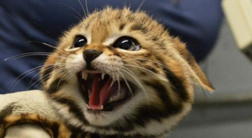 itsplanty:  Black-Footed Kitten!!!! LOOK AT THAT FACE!!!!!