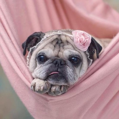 cutepugpics:  Isn't pug girl just the most precious little thing?