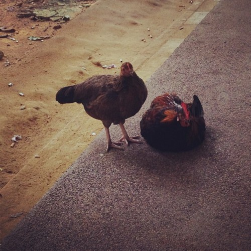 Such a cute couple haha.. #chicken #couple