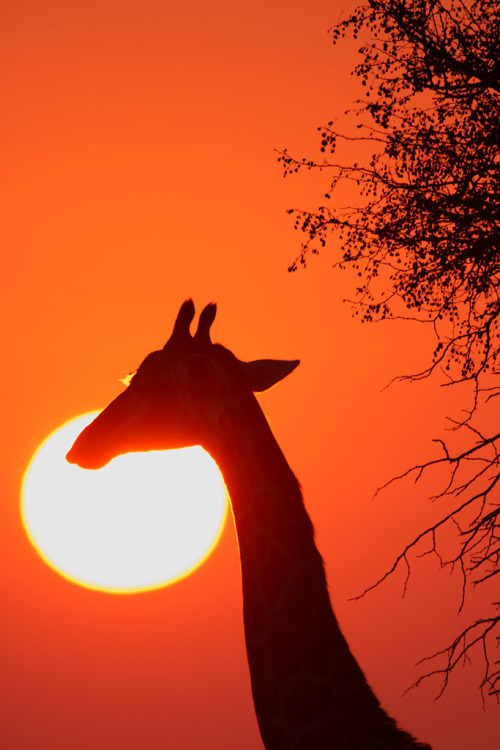 h4ilstorm:  Giraffe - sunrise - Kruger National Park (by Impisi)