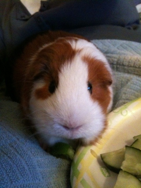 My guinea pig, Aly. c: She passed away a little over two years ago, but she's still adorable!!