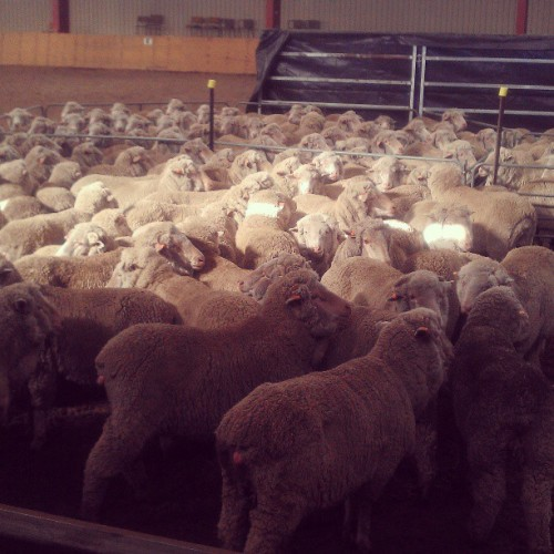 Only indoor Sheep dog trials in Australia.
