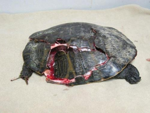 FACT: Turtles that are hit by cars are usually STILL alive & suffering badly!Here's how YOU can help if you see a turtle on the road: http://bit.ly/10QuRO4