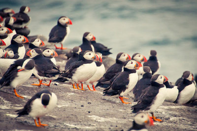 earthlynation:  puffins by corazon delator