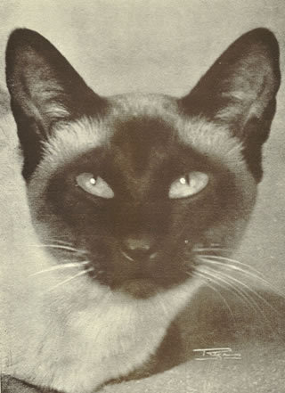 Reposting this cats cat breeds Inwood Shadow siamese cat traditional siamese 40& 039;s siamese genetics animals in general sealpoint vintage inspiration own posts my musings