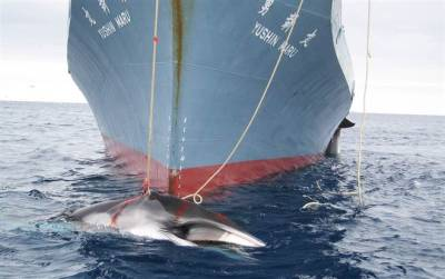 breakingnews:  UN court tells Japan to stop hunting whales BBC News: Japan's Antarctic whaling program is not for scientific purposes and must stop, the UN's International Court of Justice has ruled.  The decision comes following a lengthy court case on the controversial practice of whale hunting Photo: Australian Customs Service / AFP - Getty Images, file
