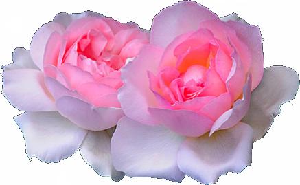 Oh, Hai. (transparent-flowers: Pink Rosa.)