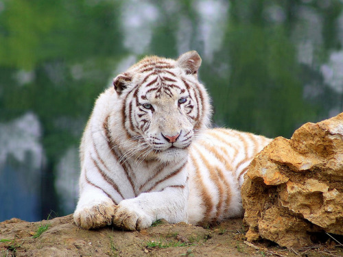 theanimalblog:  Tigre Blanc. Photo by home77_pascale