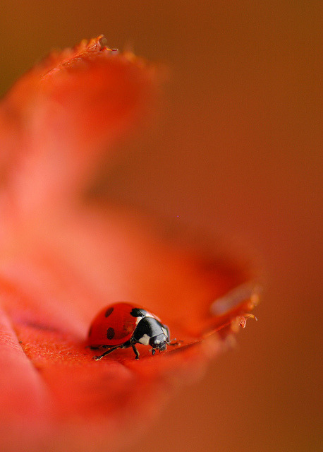 animalgazing:  Red with some spots by Red 'N Spots on Flickr.