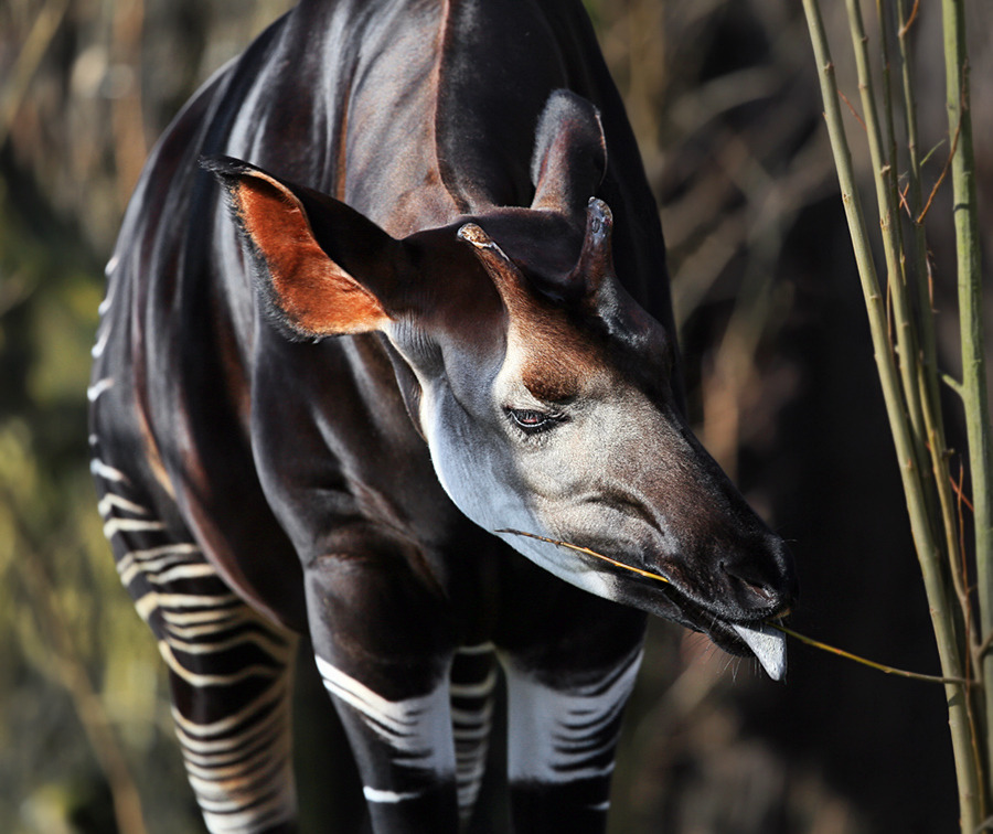 Photograph Okapi by Klaus Wiese on 500px
