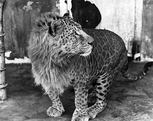 sandraeliasson:   This is a Leopon.