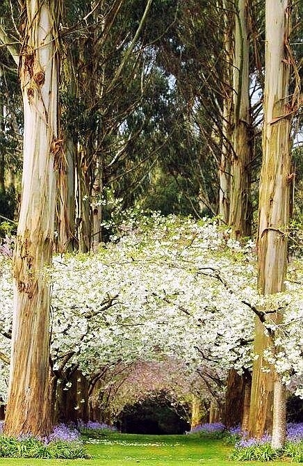 Eucalyptus Forest, New Zealand