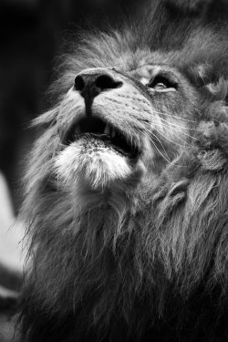 earth-song:  The Lion II by ~CagedFury86