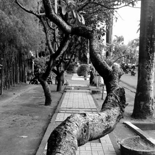 trees on the street #trees #blackandwhite