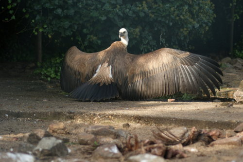 vulturesanctuary:  Griffon Vulture by ~AllAboutBirds