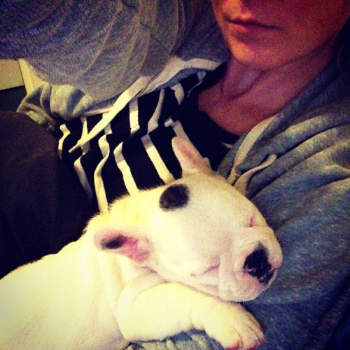 Puppy cuddles #frenchbulldog