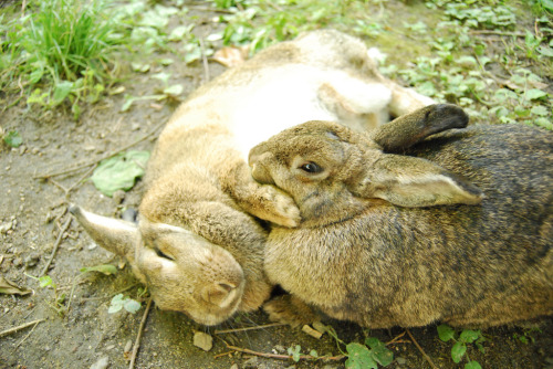 bunnyfood:  (via Robobobobo)  <3 bunny snuggles