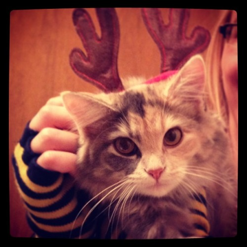 Ho, Ho, Ho, what are these silly things on my head? #cats #grumpy #grumpycat #cute #cutethings #christmas #holidays #reindeer #embarrassed #irritated