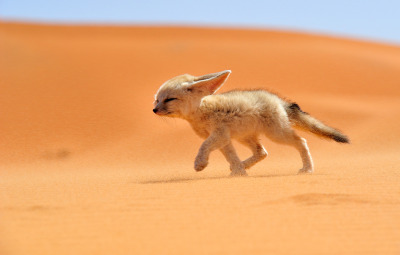 littlecorgi:  50you50me:  An adorable desert fox walking against the wind in Morocco.   little fennec fox. i wish i had one to snuggle and cheer me up :c