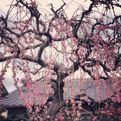 Weeping cherries, Yaizu City, Shizuoka Prefecture  Sakura in Japan. ✔