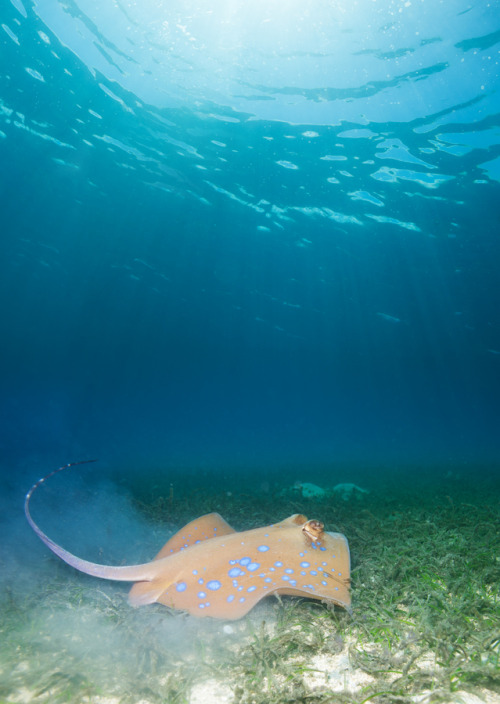 100leaguesunderthesea:  Blue spotted sting ray by Novikov Sergey