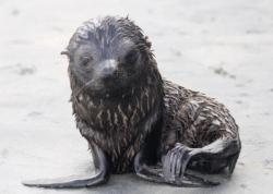 New Zealand fur seal pup by Graham Tarrant.