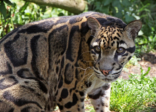 Clouded Leopard 3 by *SnowPoring .