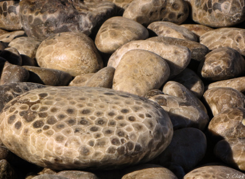 scienceawesome:  Petoskey Stone is fossilized coral that lived in warm, shallow seas that covered Michigan during Devonian Period, around 350 million years ago.(Photo credit: J Clark)