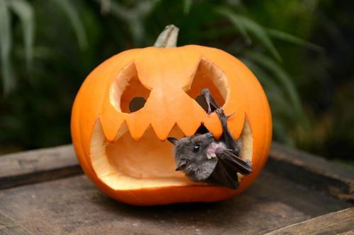 gothiccharmschool:  Yes, I think this morning needs a bat in a pumpkin. Don't argue with me.   Eeee, cute :D