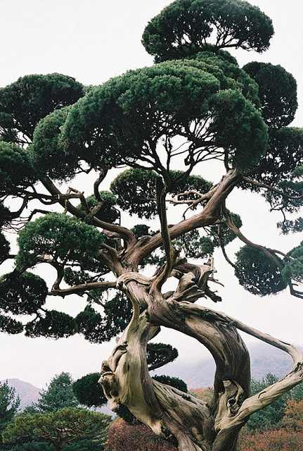 greekg0ds:  Pine tree by closer21