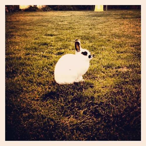 nickkhann:  Saw this in my cousins backyard #bunny #webstagram #photooftheday #hashtags #iphonesia #instagramers